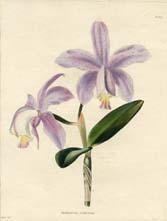 Orchid - Epidendrum Print (No. 10020337)