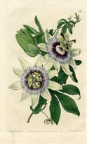 No. 10080488 - Common Passionflower