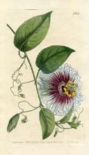 No. 10080651 - Notch-leaved Passionflower