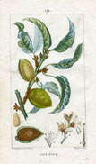 Botanical Print - Almond (No. 10100019)