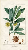 Botanical Print - Anise (No. 10100030)