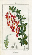 Botanical Print - Berberry (No. 10100065)