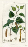 Botanical Print - Birch (No. 10100075)