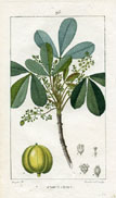 Botanical Print - Indian Rubber Tree (No. 10100093)