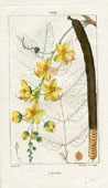 Botanical Print - Cassia (No. 10100104)