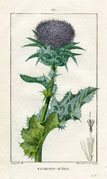 Botanical Print - Thistle (No. 10100111)