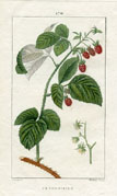 Botanical Print - Raspberry (No. 10100170)