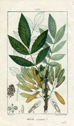 Botanical Print - Ash (No. 10100172)
