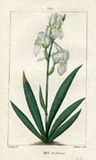 Botanical Print - Iris (No. 10100204)