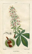 Botanical Print - Chesnut (No. 10100225)