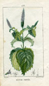 Botanical Print - Mint (No. 10100233)