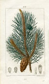 Botanical Print - Pine Tree (No. 10100272)