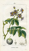 Botanical Print - Potato (No. 10100280)