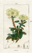 Botanical Print - Rhododendron (No. 10100301)