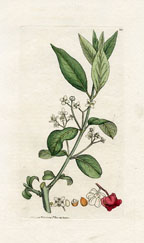 Spindle tree (No. 10230362)