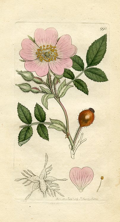 Downy-leaved Dog-rose