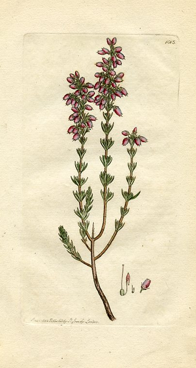 Fine-leaved Heath