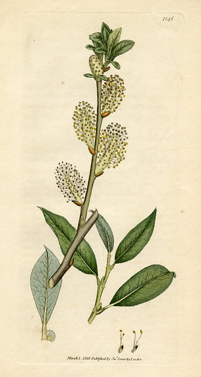 Broad-leaved Willow