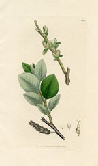 Willow (No. 10231403)