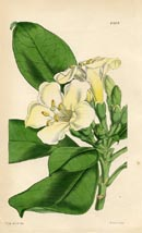 Botanical Prints - Fagraea (No. 10384205)