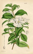Botanical Prints - Heinsia (No. 10384207)