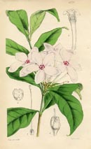 Botanical Prints - Kopsia (No. 10384220)