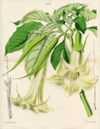 Botanical Prints - Datura (No. 10384252)