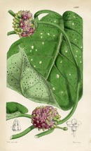 Botanical Prints - Marsdenia (No. 10384299)