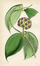 Botanical Prints - Hoya (No. 10384347)