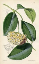 Botanical Prints - Hoya (No. 10384518)