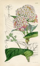 Botanical Prints - Rondeletia (No. 10384579)