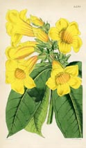 Botanical Prints - Allamanda (No. 10384594)