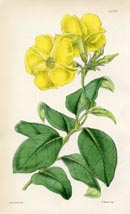 Botanical Prints - Dipladenia (No. 10384702)