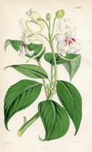 Botanical Prints - Impatiens (No. 10384704)