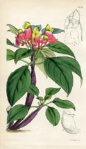Botanical Prints - Impatiens (No. 10384739)