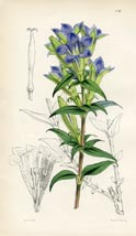 Botanical Prints - Gentian (No. 10384776)