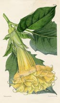 Botanical Prints - Thorn-Apple (No. 10385128)