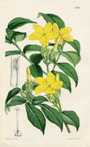 Botanical Prints - Tabernaemontana (No. 10385226)