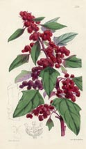 Botanical Prints - Goosefoot (No. 10385231)