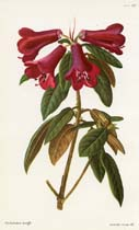 Rhododendron Print (No. 10420337)