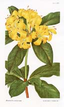 Rhododendron Print (No. 10420787)