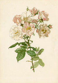 Rose Print - Rugosa Rose (No. 10600017)