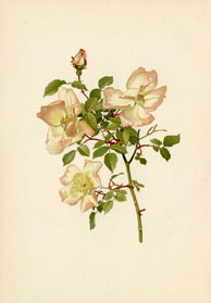 Rose Print - Chinese Rose (No. 10600029)