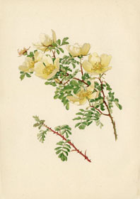 Rose Print - Yellow American Rose (No. 10600087)