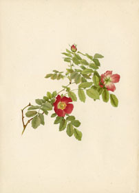 Rose Print - Alpine Rose (No. 10600099)