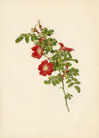 Rose Print - Alpine Rose (No. 10600100)