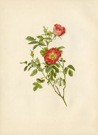 Rose Print - Gallic Rose (No. 10600109)