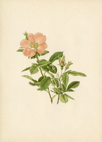 Rose Print - Shrub Rose (No. 10600113)