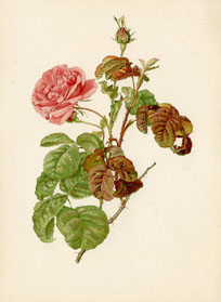 Rose Prints from The Genus Rosa