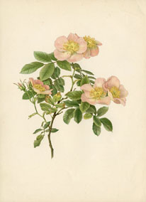 Rose Print - Dog Rose (No. 10600128)